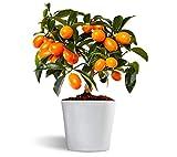 Nagami kumquat - Naranjo enano - Fruta comestible - Maceta...