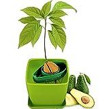 AvoSeedo Kit Jardineriapara Aguacate - Gadget Decoracion...
