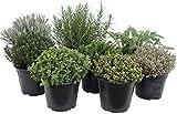 Paquete de hierbas italianas con 5 hierbas/orégano,...