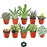 Lote de 10plantas suculentasdiferentes en macetas de 5,5...