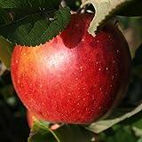 Manzano - Manzana roja - Maceta 26cm. - Altura aprox. 1'20m....