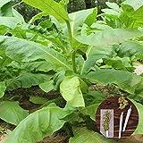 clifcragrocl semillas 30pcs Organic Virginia tabaco...