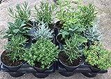 Plantas Naturales y Aromáticas - Pack 12 Plantas de...