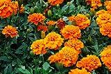 Caléndula Francesa - Aurora Orange - 300 Semillas - Tagetes...
