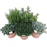 Pack de 5 Plantas Aromáticas: Lavanda + Romero + Tomillo +...
