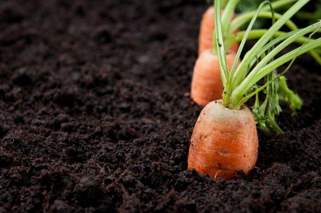 Como sembrar zanahorias en el huerto la huertina de toni for Factores para seleccionar el terreno para el vivero