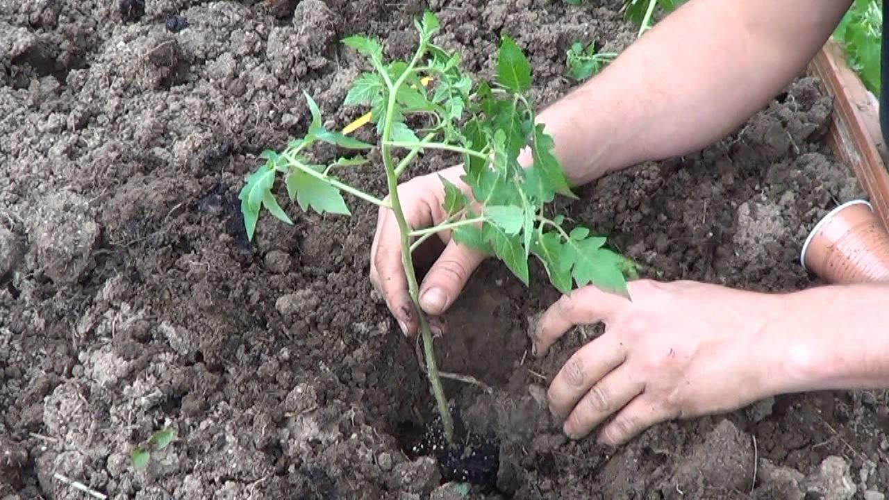 Como plantar tomates en el huerto la huertina de toni - Que plantar en el huerto ...