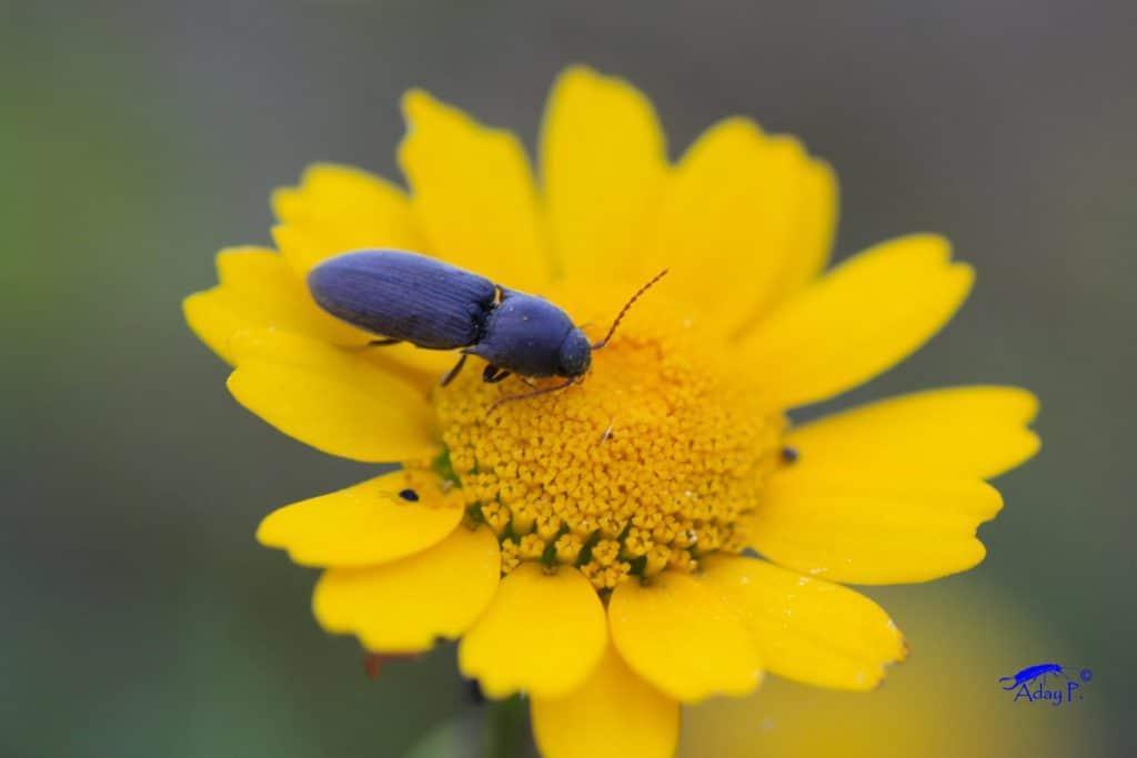 Escarabajodelalambre