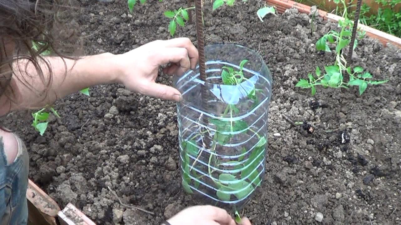 Proteger los tomates en el huerto la huertina de toni - Que plantar en el huerto ...
