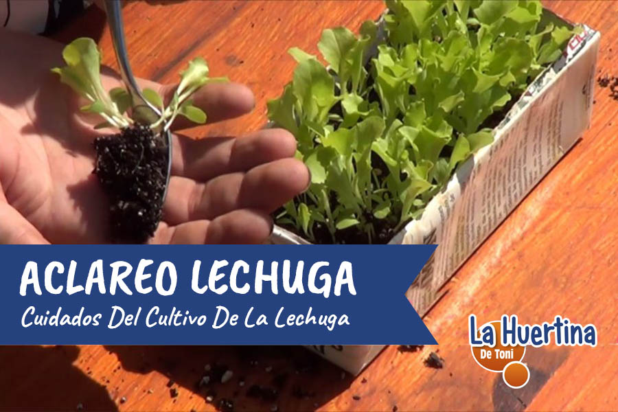 Cultivo De La Lechuga : Aclareo Y Repicado