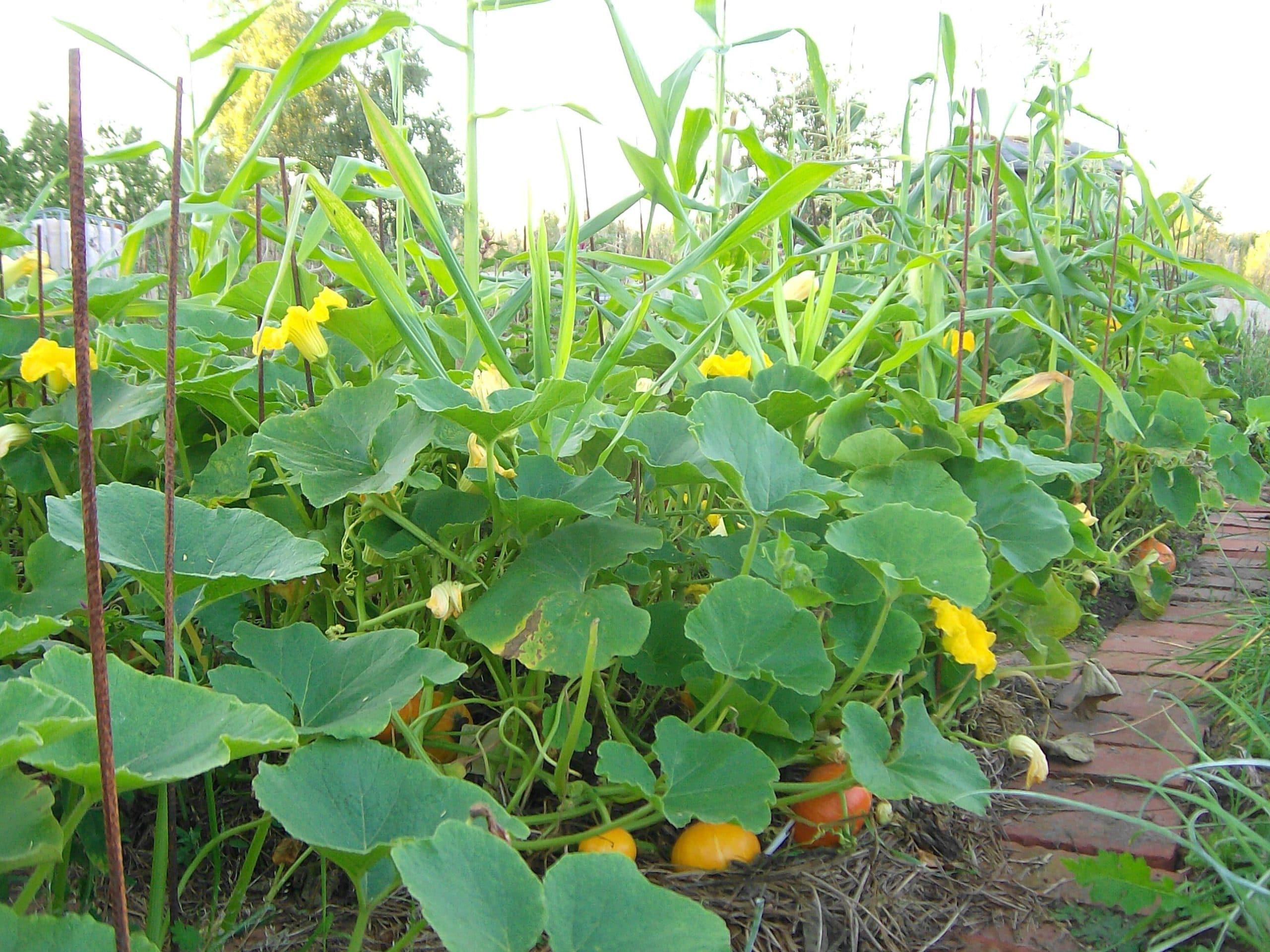 Asociaci n de cultivos en el huerto la huertina de toni for Asociacion cultivos huerto urbano