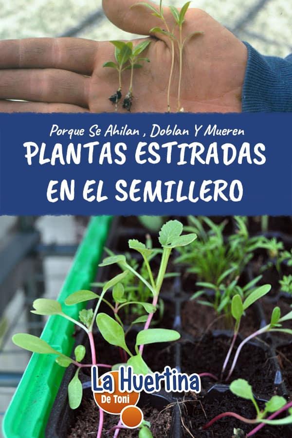 Problemas En El Semillero Plantas Ahiladas La Huertina De Toni
