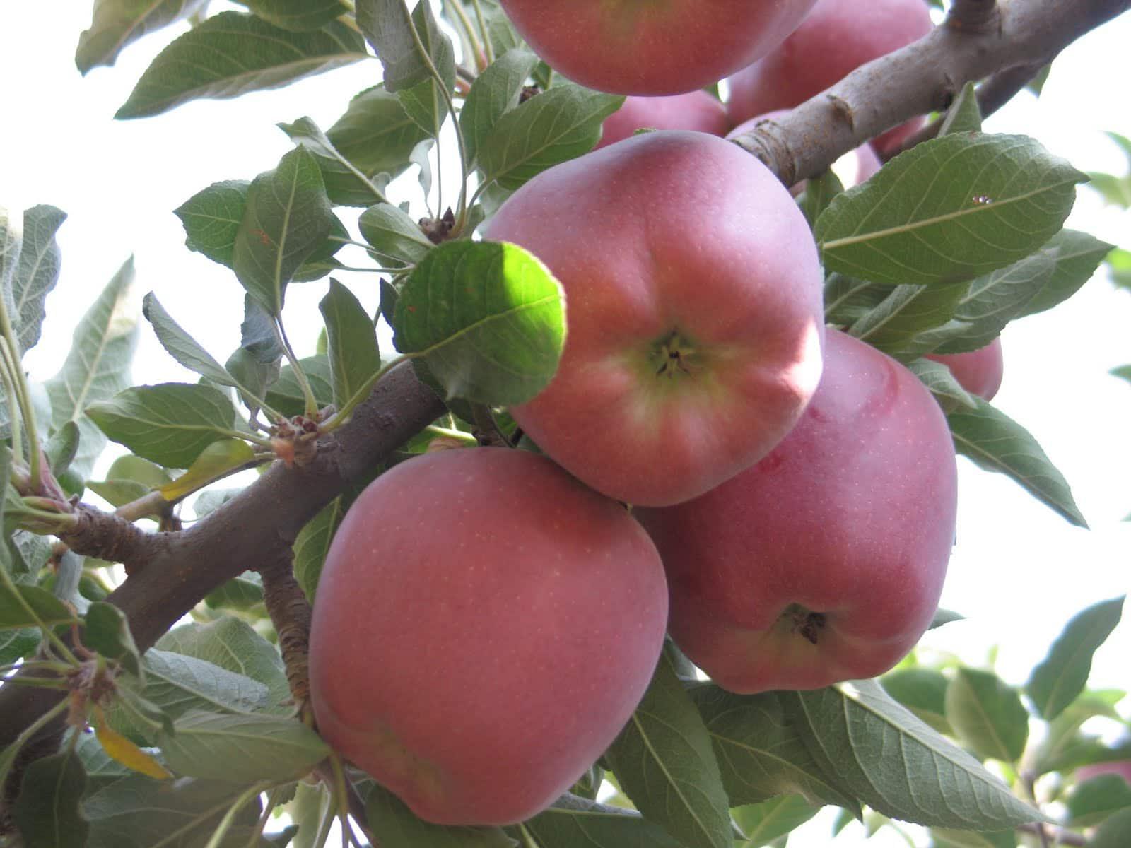 Como plantar un manzano la huertina de toni - Cuando plantar frutales ...