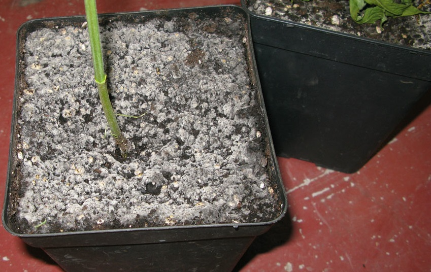 problemas en el semillero moho blanco - la huertina de toni