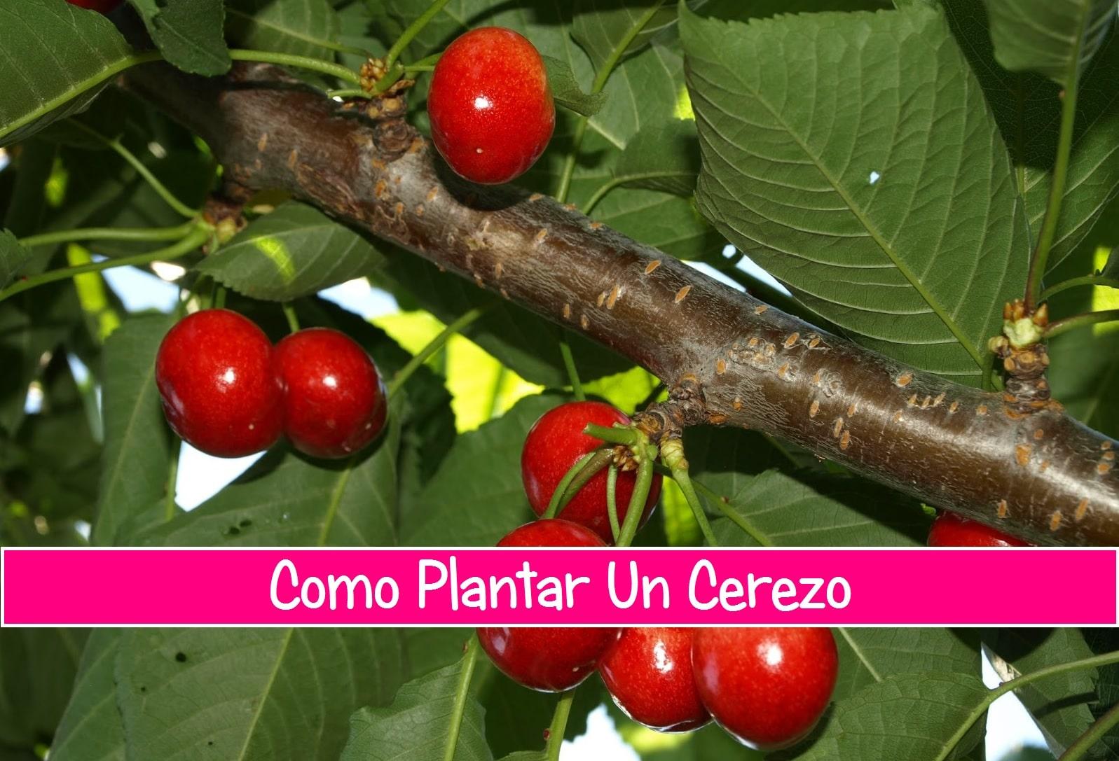 Como plantar un cerezo la huertina de toni - Como plantar frutales ...