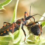 Hemipteros - Rhynocoris cuspidatus - E_Gil