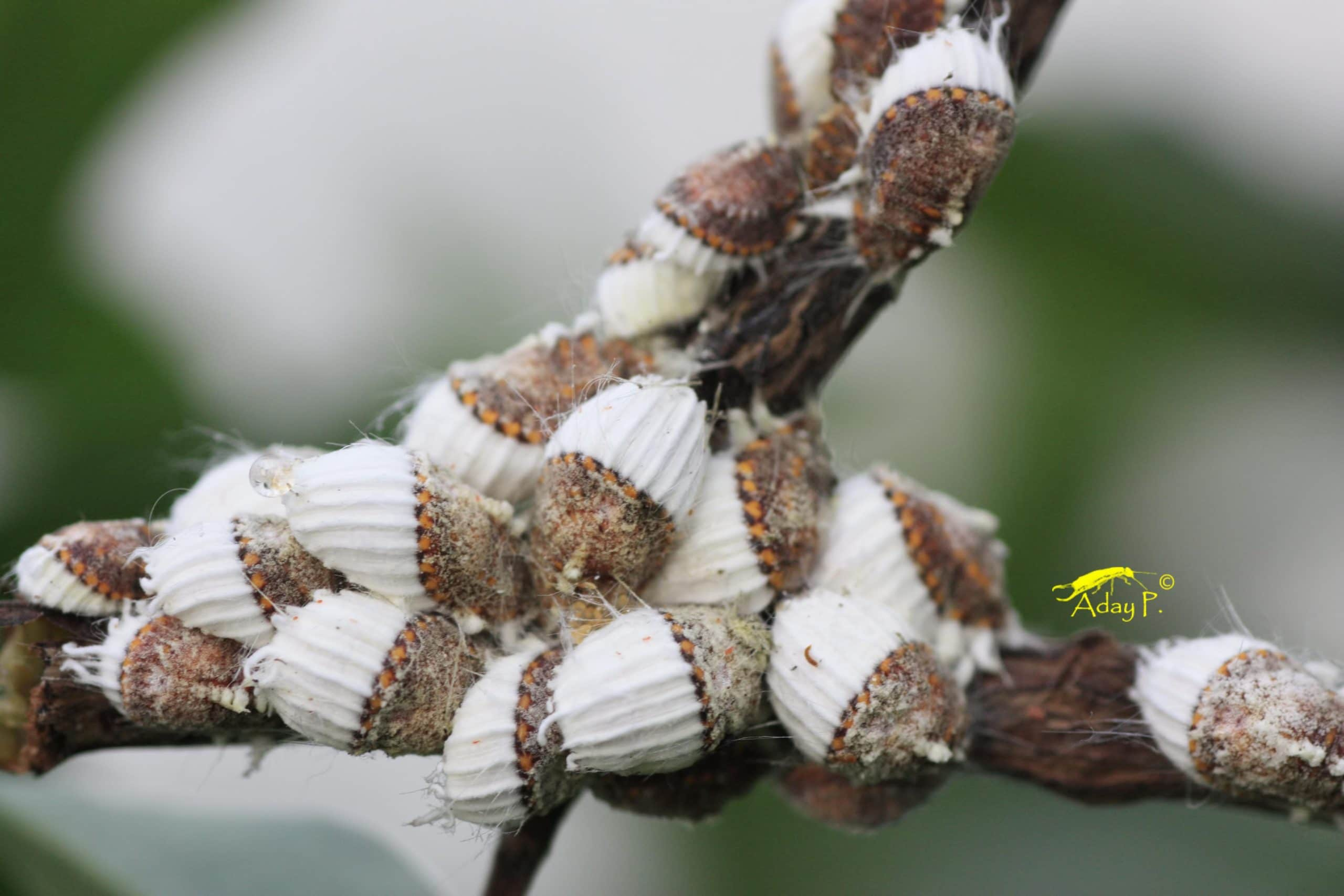 Combate la cochinilla acanalada la huertina de toni for Eliminar cochinilla algodonosa