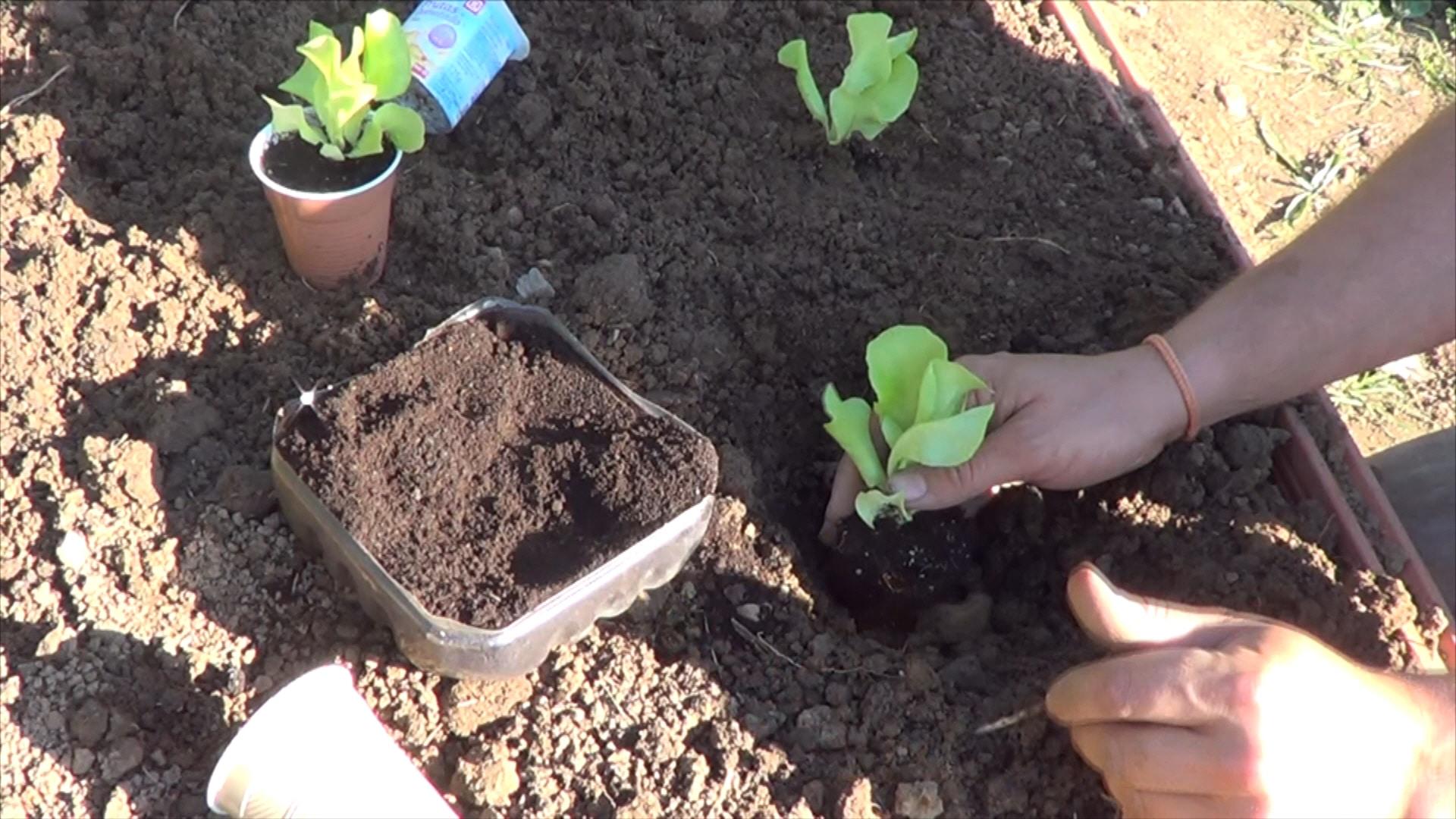 Como plantar lechugas en el huerto la huertina de toni for Huerto urbano que plantar
