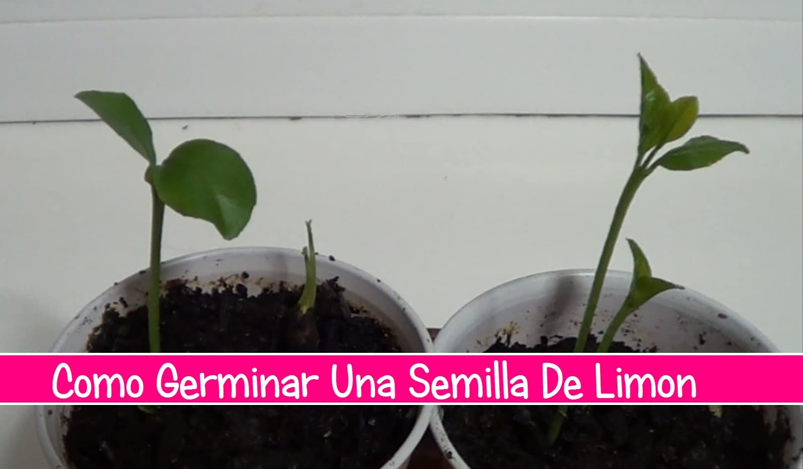 C mo germinar una semilla de lim n plantas - Semillas de interior ...