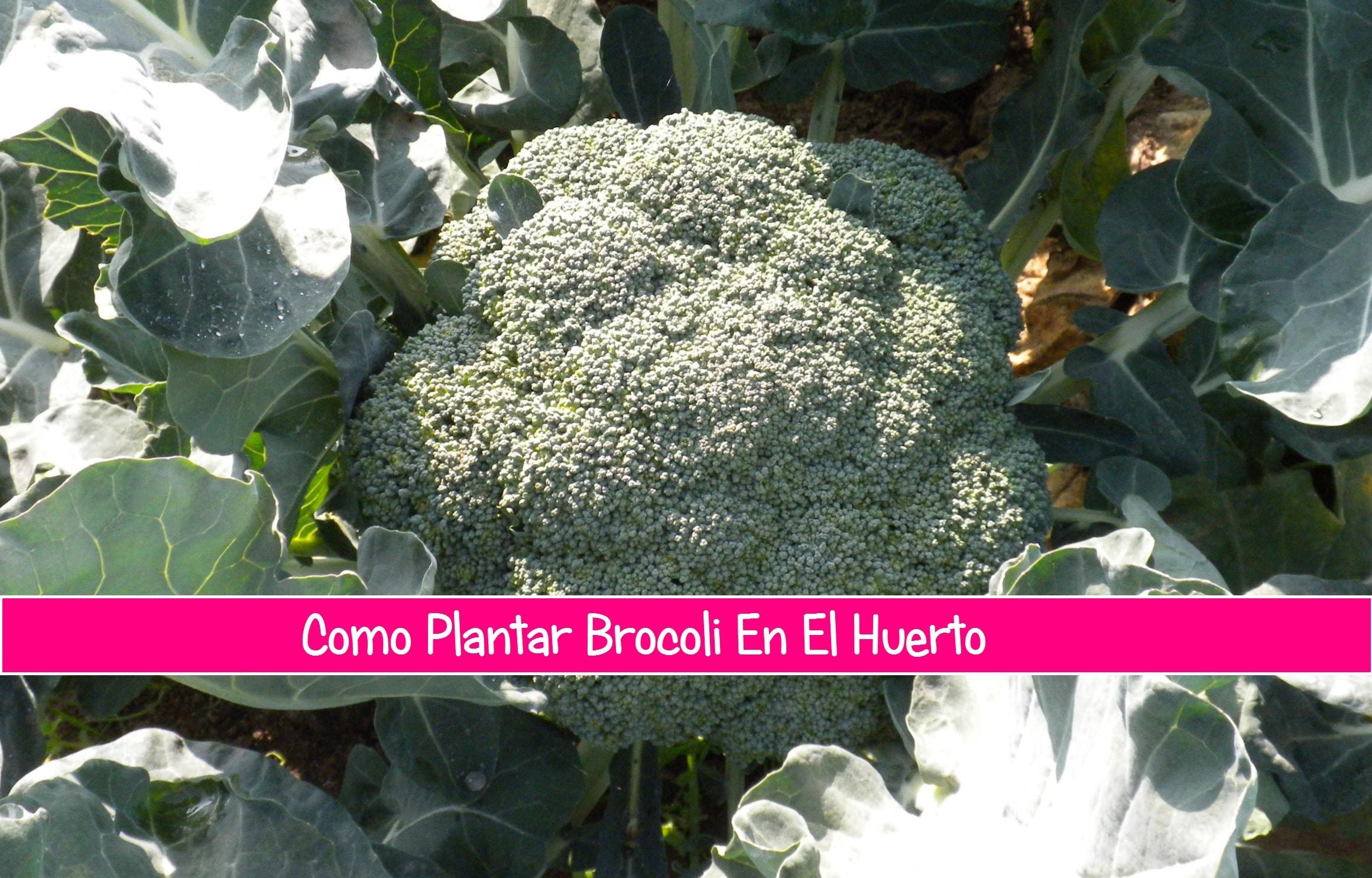 Como plantar brocoli en el huerto la huertina de toni - Como cultivar un huerto ...