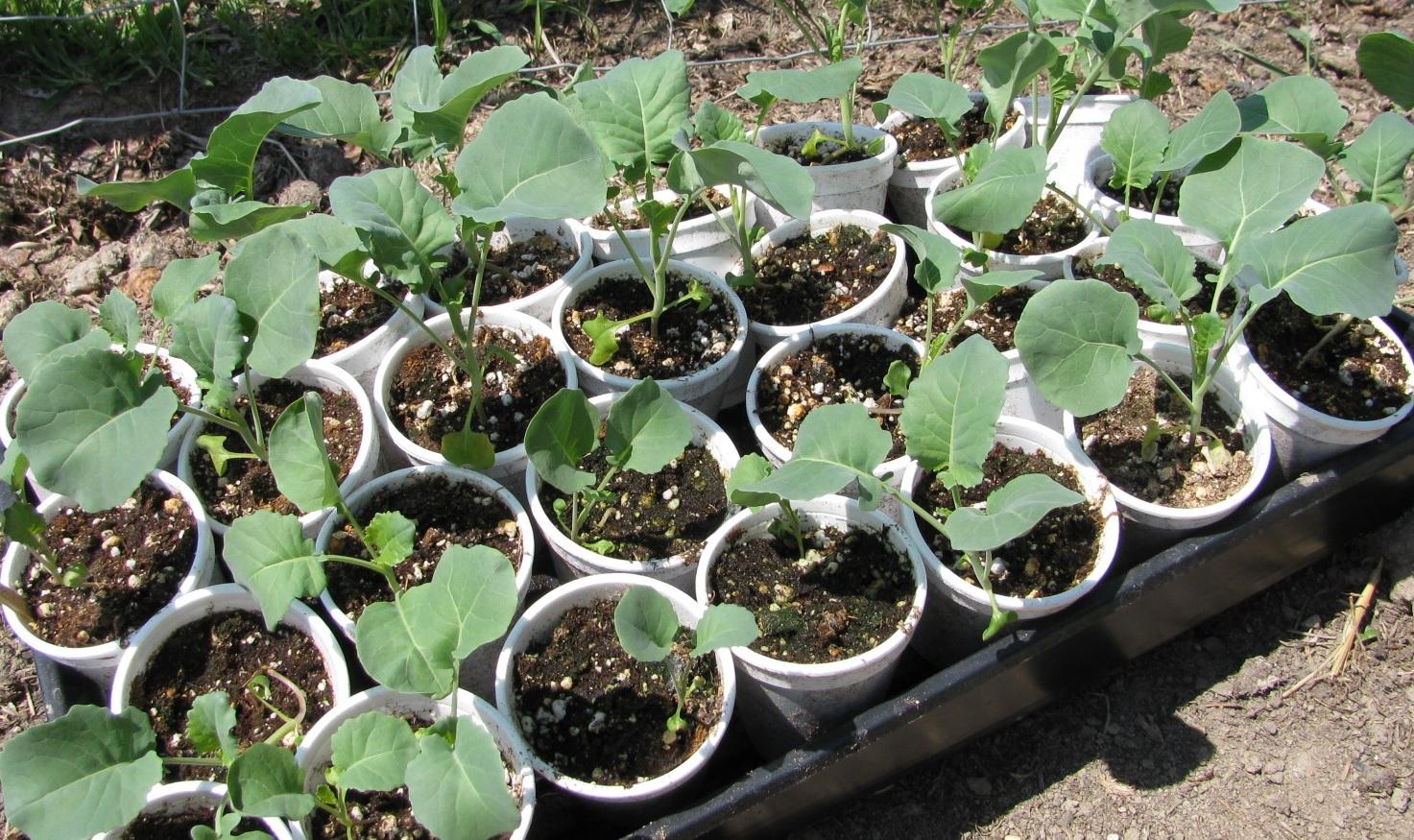 Como plantar repollo en el huerto la huertina de toni for Preparar el huerto en invierno