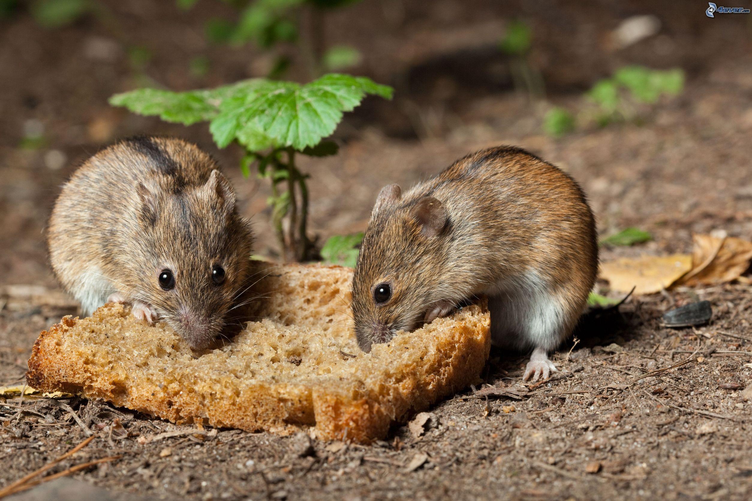 Como combatir ratas y ratones ecol gicamente la huertina for Ahuyentar ratas jardin