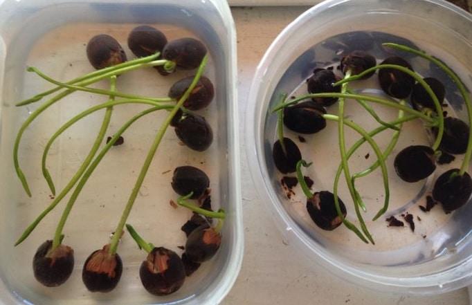 Como germinar la semilla de flor de loto la huertina de toni for Como cultivar aguacate