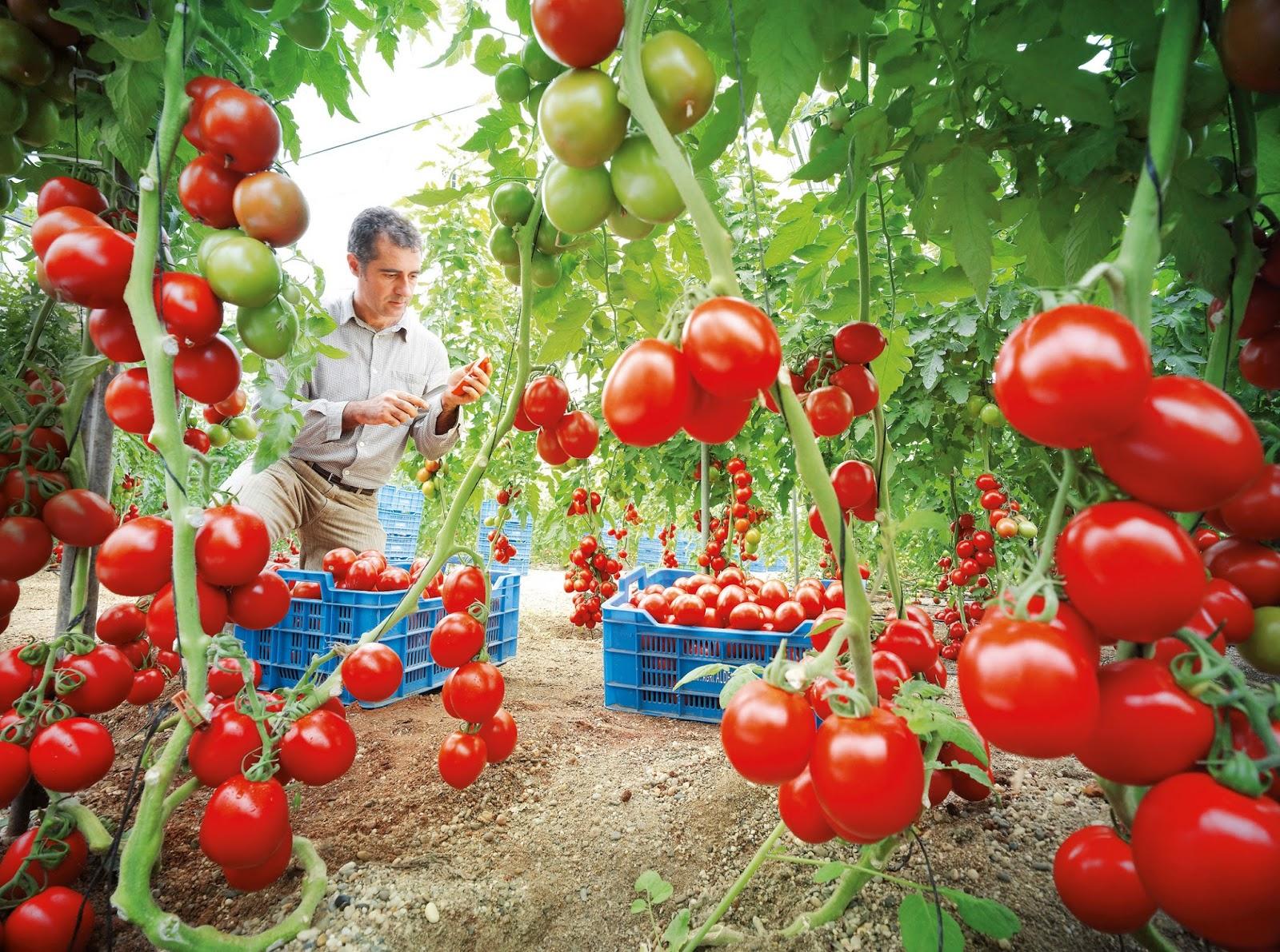Como cultivar tomate la gu a completa la huertina de toni for Plantaciones verticales