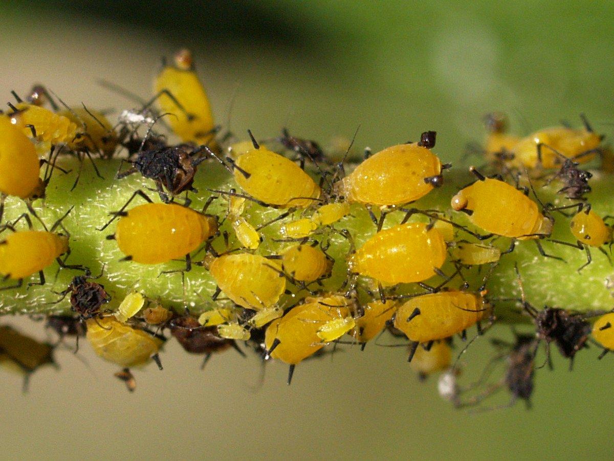 Combate al pulg n de la adelfa - Pulgon en plantas ...