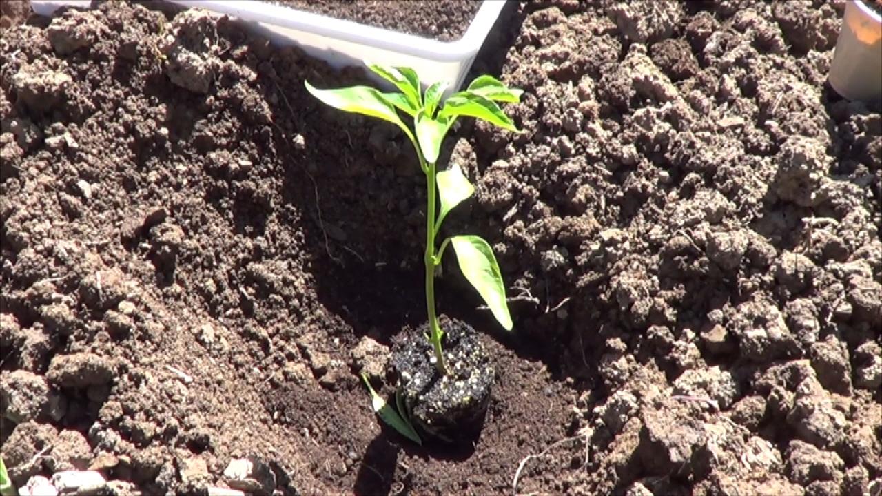 Como plantar pimientos o chiles en el huerto la huertina for Plantar pimientos y tomates