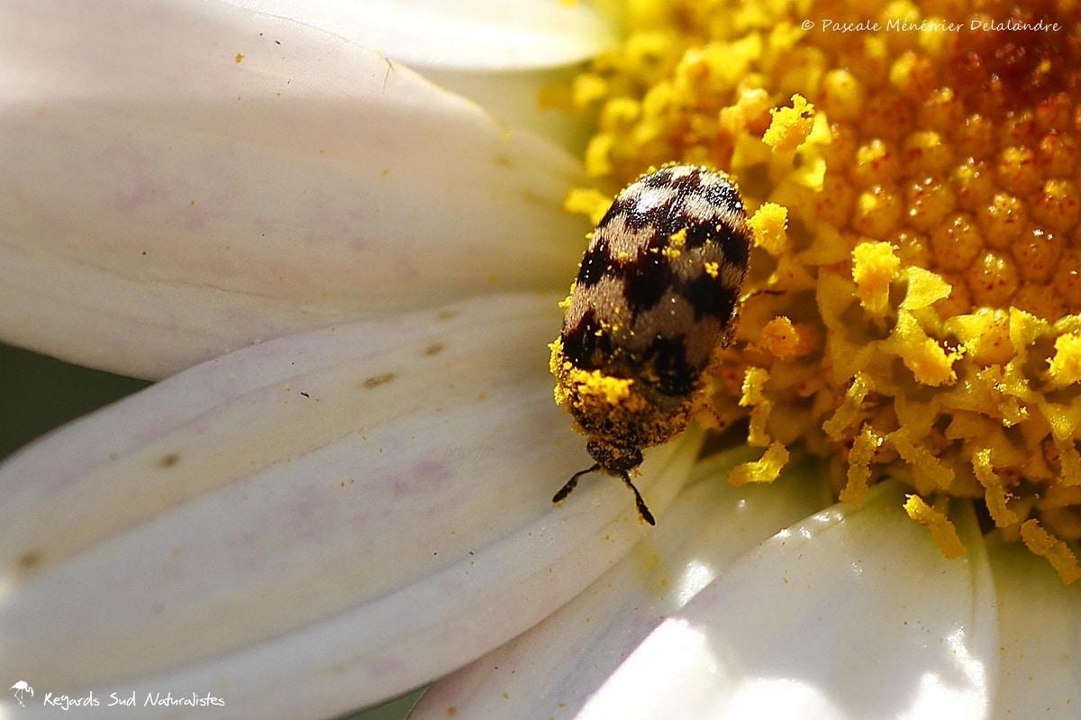 Escarabajos Derméstidos, carroñeros y florícolas