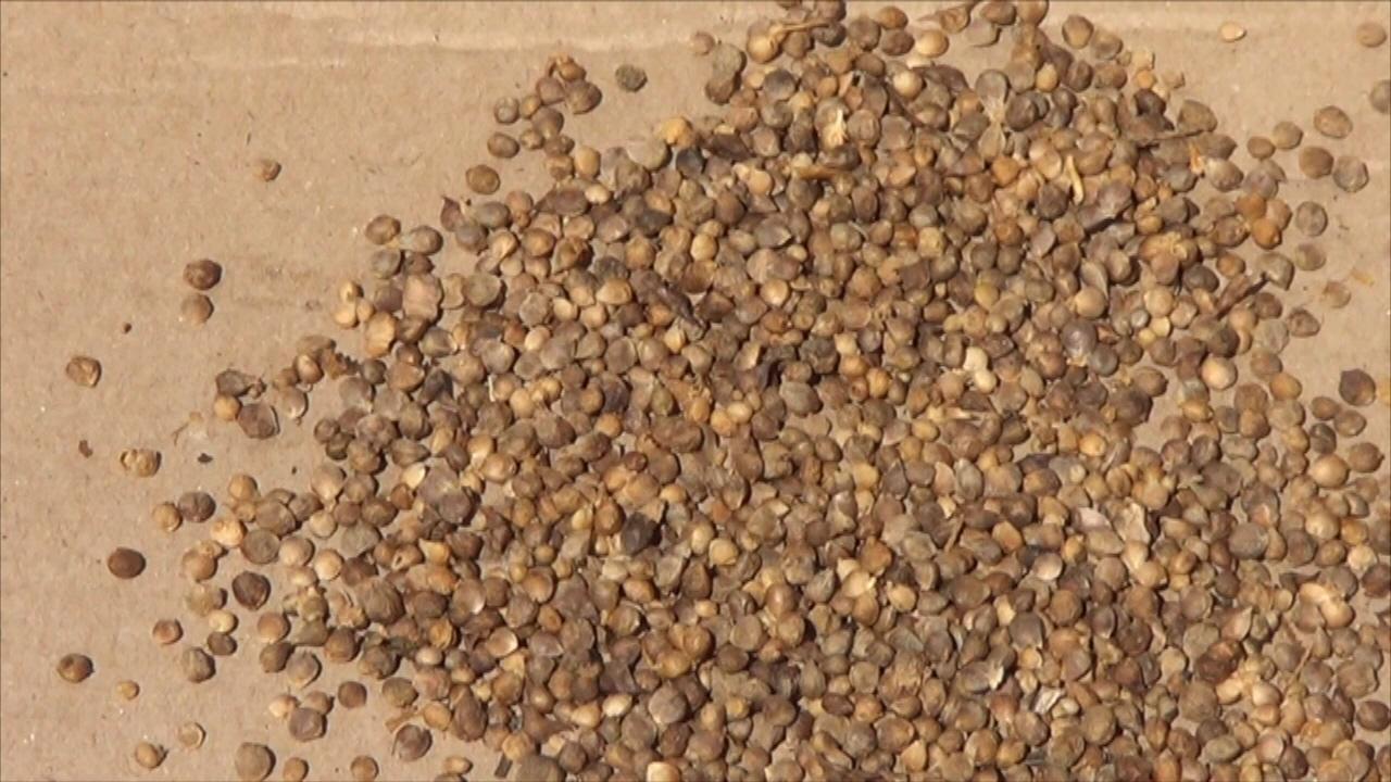 espinaca semilla