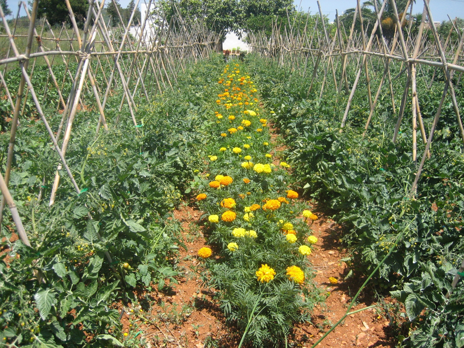 Alelopat a o c mo las plantas se pueden ayudar en el for Alelopatia en hortalizas