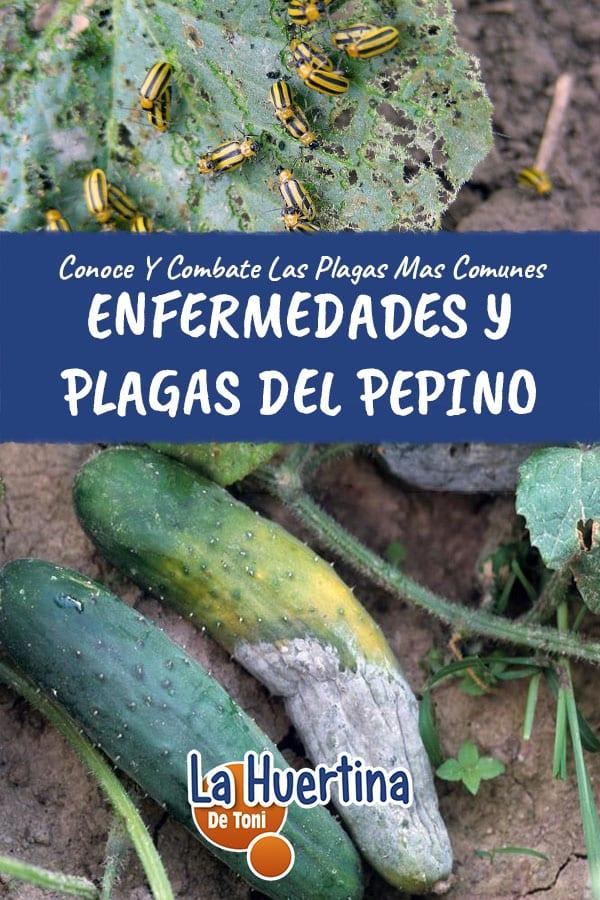 Enfermedades Y Plagas Mas Comunes Del Cultivo Del Pepino