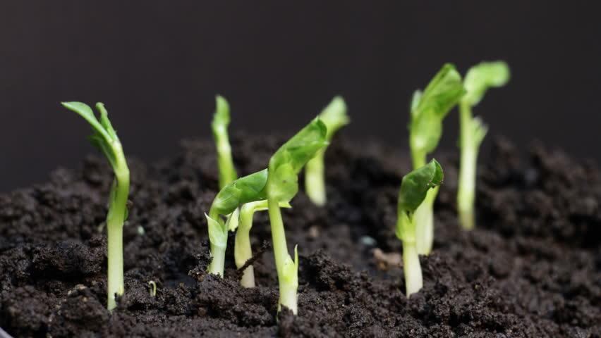 como sembrar guisantes en el huerto urbano la huertina