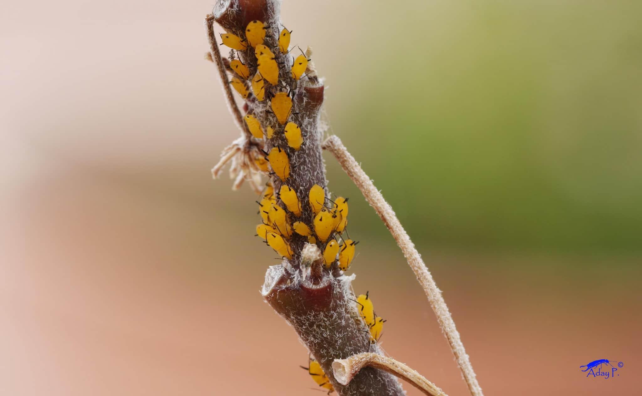 10 tratamientos ecol gicos y efectivos contra el pulg n - Pulgon en plantas ...
