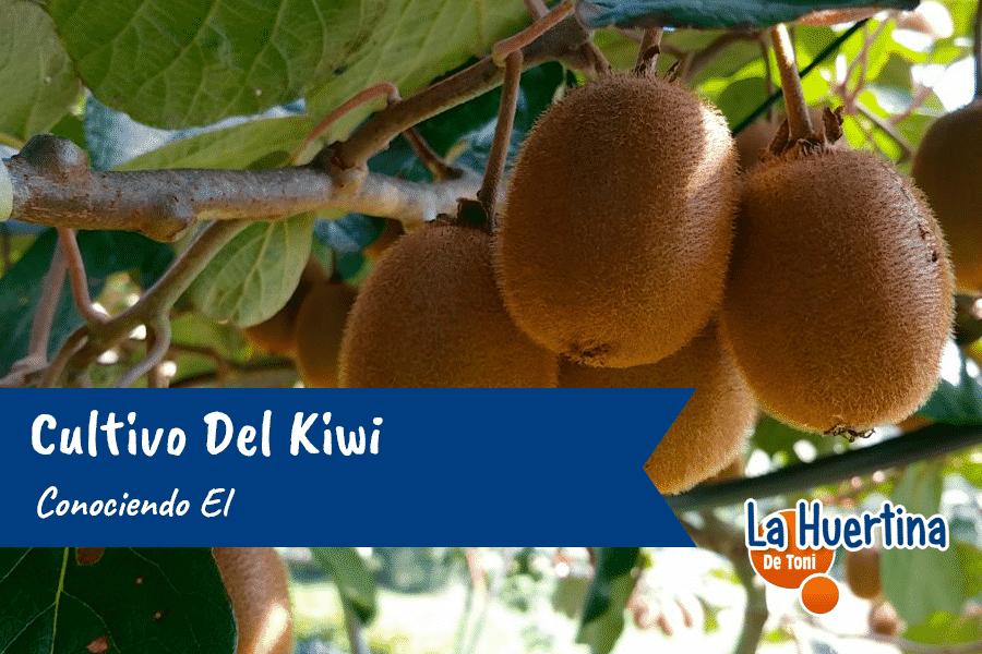 Conociendo El Cultivo Del Kiwi
