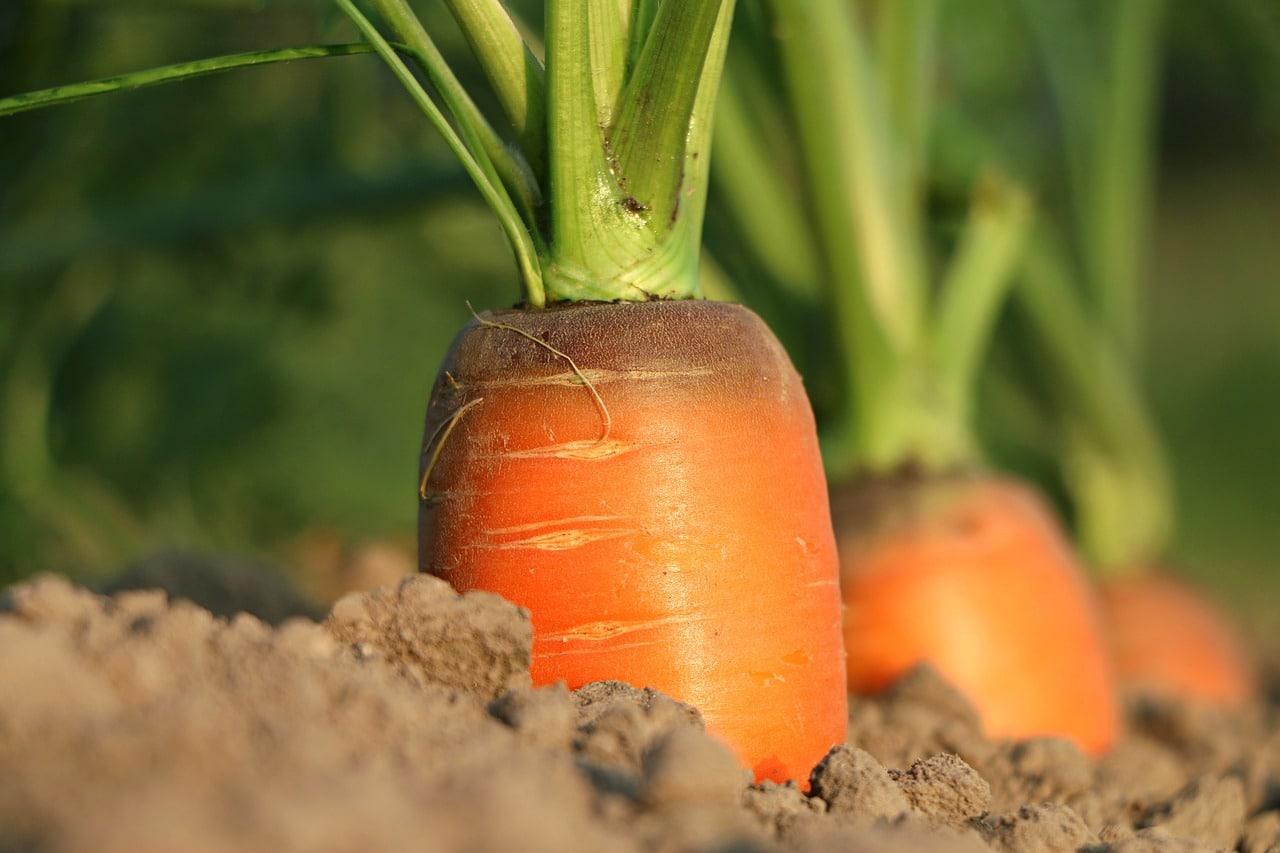 Plagas en el Huerto: La Mosca de la Zanahoria