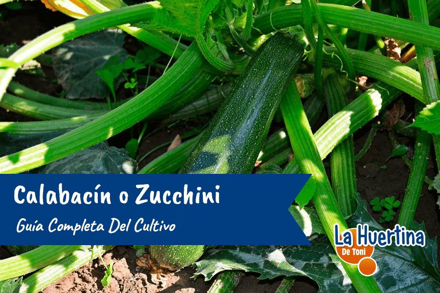 Guía Completa Del Cultivo Del Calabacin o Zucchini