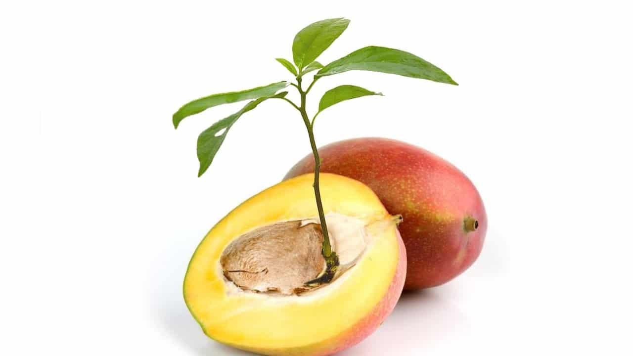 Como germinar y sembrar semillas de mango la huertina de for Plantar hortensias semillas