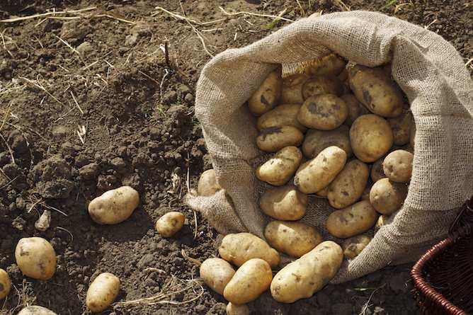 Como sembrar patatas o papas en el huerto for Como cultivar patatas