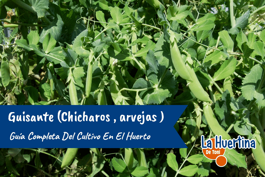 Guía Completa Del Cultivo Del Guisante ( chicharos , arvejas ) En El Huerto