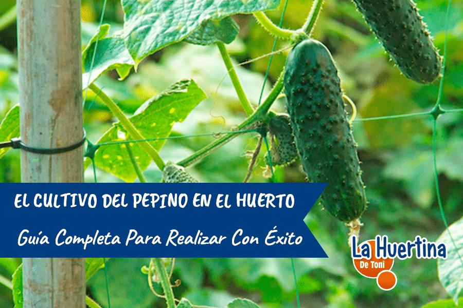 Guía Completa Del Cultivo Del Pepino En El Huerto