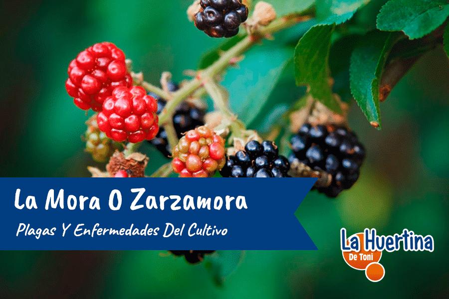 Plagas Y Enfermedades Del Cultivo De La Mora O Zarzamora