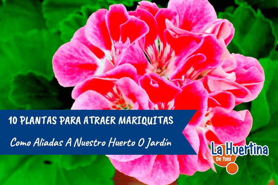 10 Plantas Para Atraer Mariquitas A Nuestro Huerto O Jardin