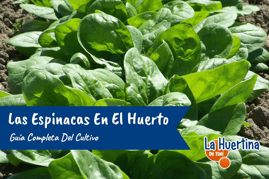 Guía Completa Del Cultivo De Las Espinacas En El Huerto