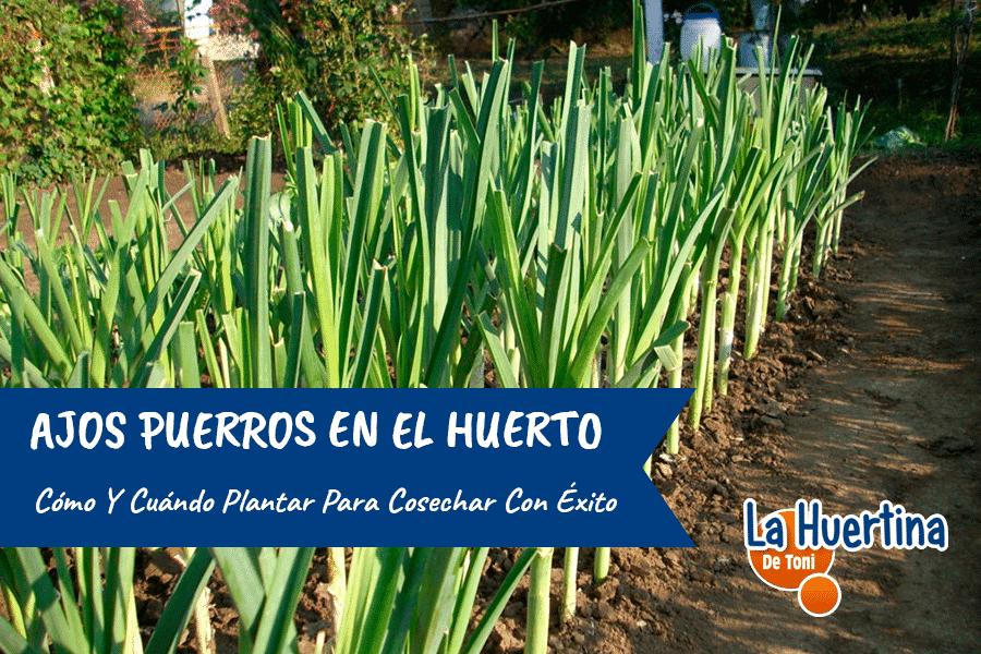 Como Y Cuando Plantar Puerros En El Huerto ( Ajo Puerro )