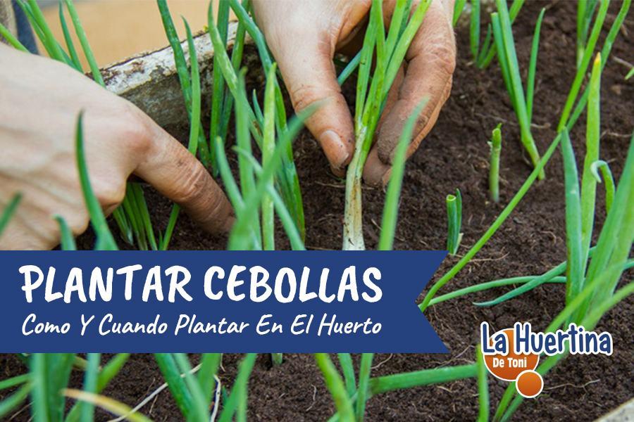 como y cuando plantar cebollas
