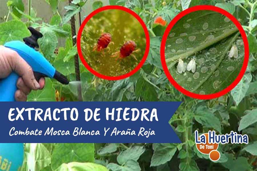 Extracto De Hiedra : Combatir Mosca Blanca Y Araña Roja De Forma Eficaz