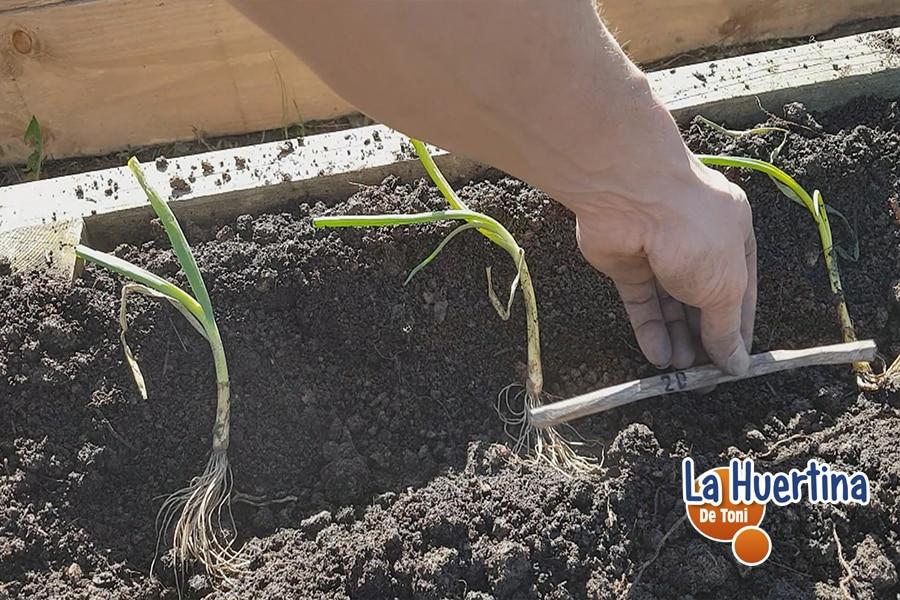 como plantar cebolla en el huerto